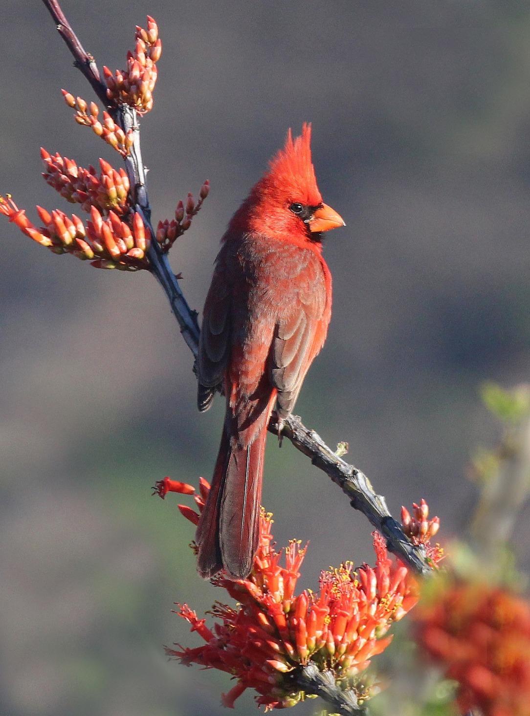 Ve animal omens cardinal vehemence emergence the cardinal buycottarizona Images